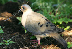 Mourning Dove. A female Mourning Dove is picking up material to build a nest Royalty Free Stock Images