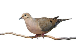 Mourning Dove Rises Royalty Free Stock Photos
