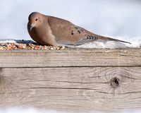 Mourning Dove With bird Seed. Mourning Dove perched on a railing with bird seed Royalty Free Stock Photo