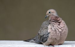 Mourning Dove bird wildlife and nature. For bird and wildlife lovers Stock Photography