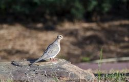 Mourning Dove on a rock, Athens Georgia USA. Mourning Dove bird, Zenaida macroura, perched on a rock. Backyard birding photographed in May in Athens, Clarke Stock Photography