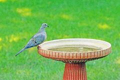 Mourning dove on birdbath, Zenaida macroura. One mourning dove on edge of birdbath Stock Image