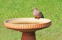 Mourning dove on birdbath, Zenaida macroura. Mourning dove perched on birdbath Royalty Free Stock Photos