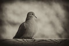 Mourning Dove in Black and White. A  mourning dove (Zenaida macroura), also known as a Western Turtle Dove, or Rain Dove, in black and white Royalty Free Stock Images