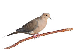 Mourning dove on a branch. Mourning dove relaxes on a branch, white background stock images