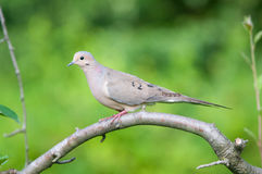 Mourning Dove. On a branch royalty free stock image