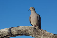 Mourning Dove on Branch Stock Image
