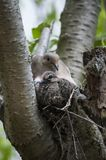 Mourning Dove with chick in nest. Color close up photo of Mourning dove with nesting chick in tree branch Royalty Free Stock Photos
