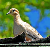 Mourning Dove Close up. Mourning dove sitting on roof, shingles slightly lifted, blue eyes, blue and green background Royalty Free Stock Photography