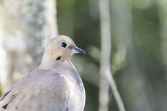 Mourning Dove. Close-up. Tree branches and green foliage out of focus in the background royalty free stock photos