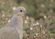 Mourning Dove closeup. A handsome Mourning Dove walking along the ground near the beach at Mission Bay in San Diego, California stock photos
