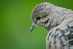 Mourning Dove Contemplating Life. Introspective Mourning Dove close up Stock Photos
