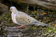 Mourning Dove, Cuyahoga Valley National Park, Ohio USA Stock Photography