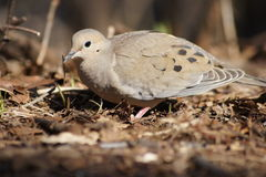Mourning Dove Delight Stock Image