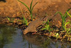 Mourning Dove Drinking. A mourning dove drinking at a waterhole Stock Images