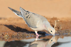 Mourning Dove Drinking at a Pond Royalty Free Stock Photography
