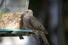 Mourning dove at feeder Stock Images