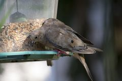 Mourning dove at feeder Stock Image