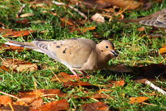 Mourning dove. Feeding in the front yard Stock Images