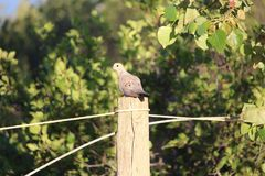 Mourning Dove on fencepost Stock Image