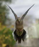 Mourning Dove on Final Approach. A mourning dove a split-second before alighting on a backyard feeder in Northern Virginia in late March. Shot with a Nikon D700 Royalty Free Stock Photography