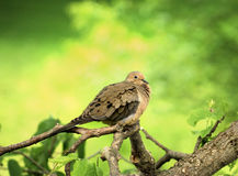 Mourning Dove Fluffed Up Against Cold Wind Stock Photography