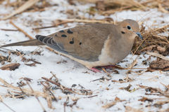 Mourning Dove Royalty Free Stock Images