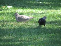 Mourning Dove and Grackle. Mourning dove and common grackle eating bird Stock Photo