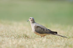 Mourning Dove on Grass Stock Photo