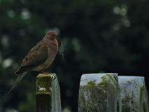 Mourning Dove on Gravestone with Gift stock photography