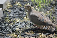 Mourning dove on the ground. Mourning doves feed off seed on the ground under my bird feeder Royalty Free Stock Photo