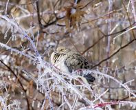 Mourning dove after ice storm Royalty Free Stock Photos