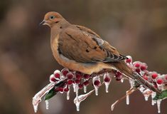 Mourning Dove On An Icy Perch stock images