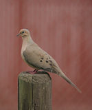Mourning Dove II Stock Images
