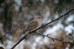 Free Mourning Dove In Wintry Snowfall Royalty Free Stock Photos - 165260358
