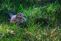 Mourning dove on lawn with feathers ruffled Royalty Free Stock Images