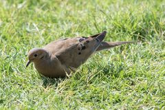 Mourning Dove on lawn. Mourning Dove, Zenaida macrouram, Carolina Pigeon  hunting for food in grass Royalty Free Stock Photography