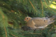 Mourning Dove laying with her babies. I love springtime when it brings out all the baby animals. This Mourning Dove is laying on her babies. She has two Royalty Free Stock Photos