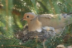 Mourning Dove laying with her babies. I love springtime when it brings out all the baby animals. This Mourning Dove is laying on her babies. She has two Royalty Free Stock Photography