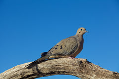Mourning Dove on Limb Stock Photo