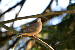 Mourning dove. A mourning dove lit by the evening sun looking at the camera royalty free stock image