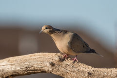 Mourning Dove on Log Royalty Free Stock Images
