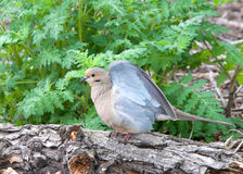 Mourning Dove on log ready to take off in flight Royalty Free Stock Image