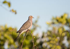 Mourning Dove Looking Upward. This Mourning Dove is sitting on the apex of an interesting vine appearing to be gazing into the sky Royalty Free Stock Image