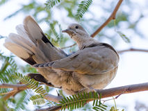 Mourning Dove on Mesquite Tree Royalty Free Stock Photo