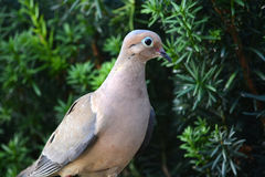 Mourning dove royalty free stock photos