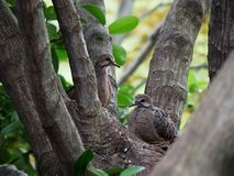 Mourning Dove Mother And Her Babies. Sitting in their nest Royalty Free Stock Images