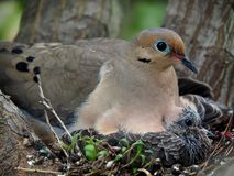 Mourning Dove Mother And Her Babies. Sitting in their nest Stock Photo