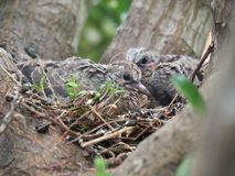 Mourning Dove Mother And Her Babies. Sitting in their nest Royalty Free Stock Photos