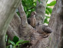 Mourning Dove Mother And Her Babies Royalty Free Stock Images